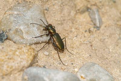 Cicindela scutellaris subspecies Lecontei Festive Tiger Beetle Sauk Prairie Recreation Area WI  IMG_0373