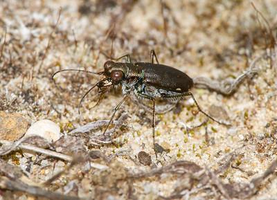 Cicindelidia punctulata Punctured Tiger Beetle Sauk Prairie Recreation Area WI IMG_0228