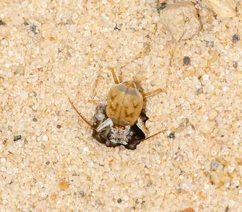 Ellipsoptera lepida Ghost Tiger Beetle Sauk Prairie Recreation Area WI  IMG_0260