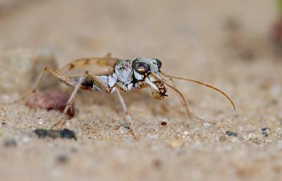 Ellipsoptera lepida Ghost Tiger Beetle Sauk Prairie Recreation Area WI  IMG_0311