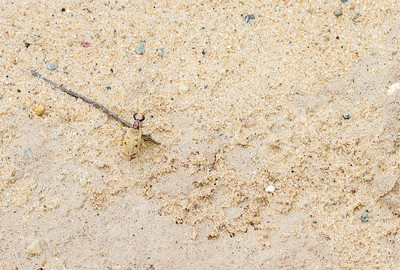 Ellipsoptera lepida Ghost Tiger Beetle Sauk Prairie Recreation Area WI  IMG_0317