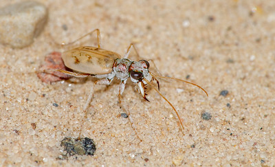 Ellipsoptera lepida Ghost Tiger Beetle Sauk Prairie Recreation Area WI  IMG_0289