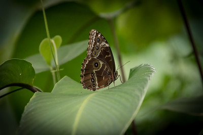 Common Blue Morpho (Morpho peleides)