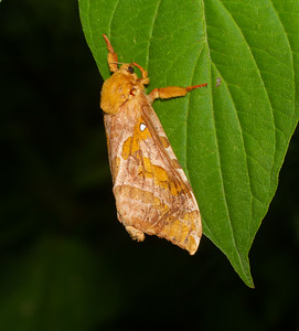 This Four-spotted Ghost Moth did not come to my garage lights at night. In fact, it landed on my wife while she was gardening in the middle of the day!