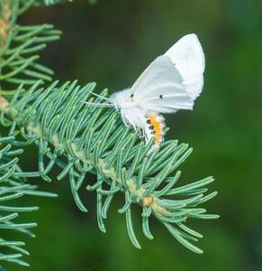 Spilosoma virginica Virginian Tiger Moth 93-0316 8137 Family Erebidae Skogstjarna Carlton County MN DSC02409