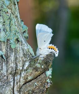 Spilosoma virginica Virginian Tiger Moth 93-0316 8137 Family Erebidae Skogstjarna Carlton County MN DSC02407