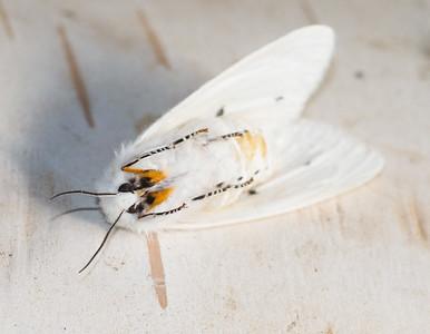 Spilosoma virginica Virginian Tiger Moth 93-0316 8137 Family Erebidae Skogstjarna Carlton County MN IMG_0999