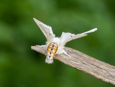 Spilosoma virginica Virginian Tiger Moth 93-0316 8137 Family Erebidae Skogstjarna Carlton County MN DSC02398