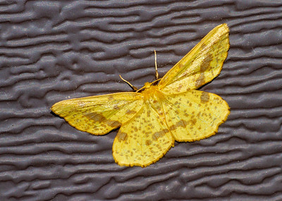 Xanthotype urticaria False Crocus Geometer 6740 Family Geometridae Skogstjarna Carlton County MN  IMG_0725