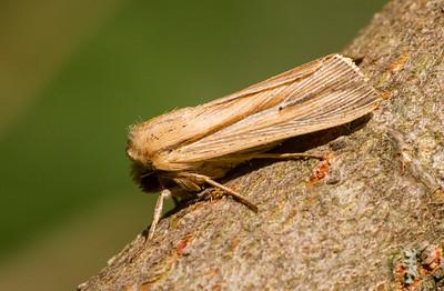 Simyra insularis Henry's Marsh Moth Simyra henrici 93-1493 9280 Daggers Family Noctuidae Skogstjarna Carlton County MN  IMG_0016
