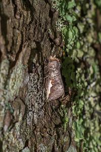 Symmerista leucitys Orange-humped Oakworm 93-0129 7953 Family Notodontidae Skogstjarna Carlton County MN IMG_3258