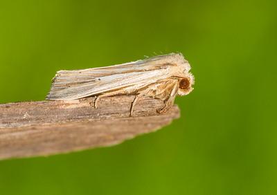 Simyra insularis Henry's Marsh Moth Simyra henrici 93-1493 9280 Daggers Family Noctuidae Skogstjarna Carlton County MN  IMG_0012