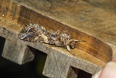 Spodoptera ornithogalli Yellow-striped Armyworm 93-2219 9669 Family Noctuidae Skogstjarna Carlton County MN  IMG_1028
