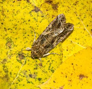 Spodoptera ornithogalli Yellow-striped Armyworm 93-2219 9669 Family Noctuidae Skogstjarna Carlton County MN  IMG_1037