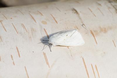 Spilosoma virginica Virginian Tiger Moth 93-0316 8137 Family Erebidae Skogstjarna Carlton County MN IMG_0991