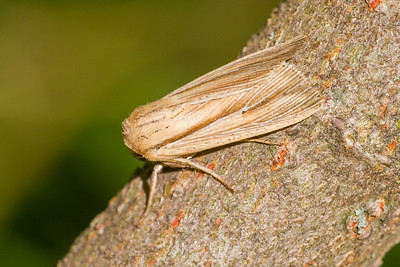 Simyra insularis Henry's Marsh Moth Simyra henrici 93-1493 9280 Daggers Family Noctuidae Skogstjarna Carlton County MN  IMG_0030