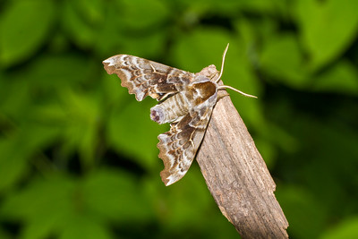 Smerinthus cerisyi One-eyed Sphinx 7822 Family Sphingidae Skogstjarna Carlton County MN  IMG_0672