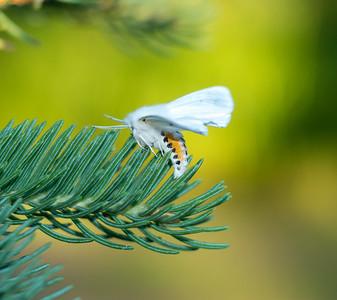 Spilosoma virginica Virginian Tiger Moth 93-0316 8137 Family Erebidae Skogstjarna Carlton County MN DSC02419