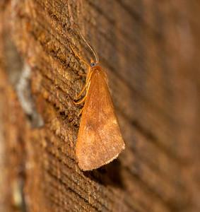 Virbia ferruginosa Rusty Virbia 93-0306 8123 Family Erebidae Skogstjarna Carlton County MN  IMG_0120