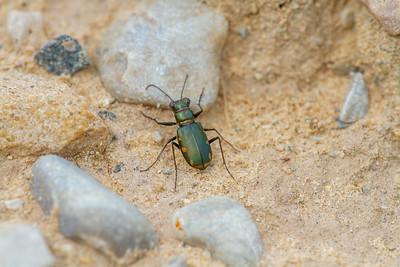 Cicindela scutellaris subspecies Lecontei Festive Tiger Beetle Sauk Prairie Recreation Area WI  IMG_0369
