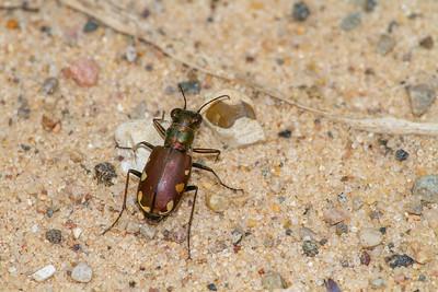 Cicindela scutellaris subspecies Lecontei Festive Tiger Beetle Sauk Prairie Recreation Area WI  IMG_0321
