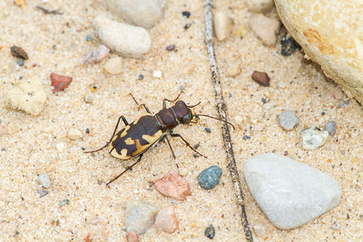 Cicindela formosa Big Sand Tiger Beetle Sauk Prairie Recreation Area WI  IMG_0235