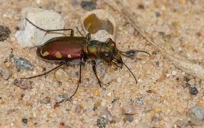 Cicindela scutellaris subspecies Lecontei Festive Tiger Beetle Sauk Prairie Recreation Area WI  IMG_0327