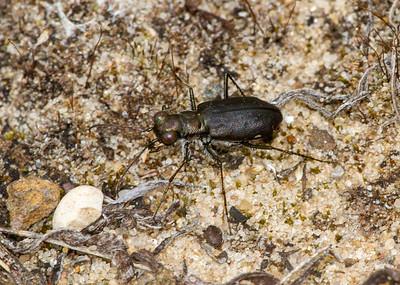 Cicindelidia punctulata Punctured Tiger Beetle Sauk Prairie Recreation Area WI  IMG_0225