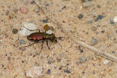 Cicindela scutellaris subspecies Lecontei Festive Tiger Beetle Sauk Prairie Recreation Area WI  IMG_0326
