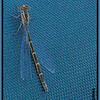Tule Bluet (female) ~ Enallagma carunculatu