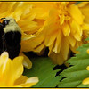 Yellow-faced Bumble Bee ~ Bombus vosnesenskii