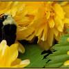 Yellow-faced Bumble Bee ~ Bombus vosnesenskii