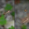 European Garden Spider with Crane Fly