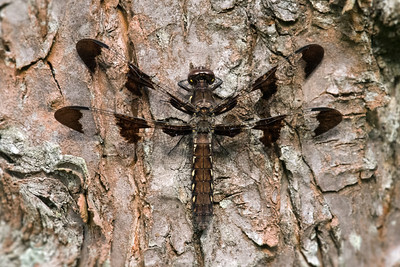 Twelve-spotted Skimmer Dragonfly on tree trunk • Sapsucker Woods, Ithaca NY • 2017