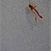 Ichneumon—Anomaloninae parasitic wasp family (female)