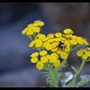 Yellow Nectar