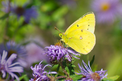 Pink-Edged Sulphur Butterfly poses on purple wildflowers • Mexico Point State Park, NY • 2011