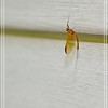 Western Ginger Quill Mayfly (male)—Cinygmula reticulata