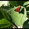 Woodland Skipper—Ochlodes sylvanoides