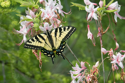 Eastern Tiger Swallowtail butterfly drinks from pink wildflowers • Labrador Hollow, NY • 2017