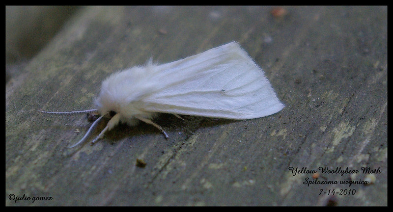 Yellow Woolly Bear Moth ~ Spilosoma virginica