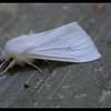 Yellow Woolly Bear Moth ~ Spilosoma virginica