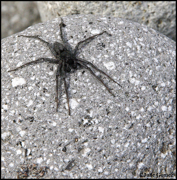 Wolf Spider (Family Lycosidae)