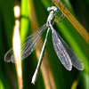 Male Emerald Spreadwing (damselfly) ~ Lestes dryas