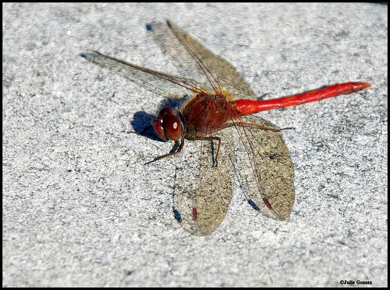 Cardinal Meadowhawk ~ Sympetrum illotum