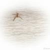 Female Running Crab Spider—Philodromus dispar