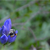 Two Form Bumble Bee ~ Bombus bifarius