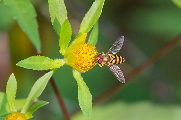Hoverfly feeds on yellow flowers • Labrador Pond, Apulia NY • 2015