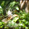 Female Garden Spider ~
