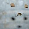 American House Spider ~ Parasteatoda tepidariorum